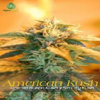 AlphaKronik Genes Seeds American Kush Regular
