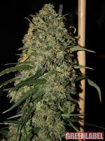 Green Label Seeds Easy Skunk Feminized