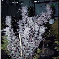 DJ Short Seeds Blueberry Regular