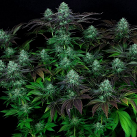 T.H.Seeds Darkstar Kush Regular