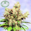 Sagarmatha Seeds Stonehadge Feminized