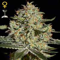 Green House Seeds Big Bang Feminized