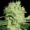 BlimBurn Seeds Dama Blanca Feminized