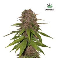 FastBuds Seeds C4-Matic Auto Feminised