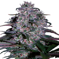 Seedmakers Seeds Alakazam Feminized
