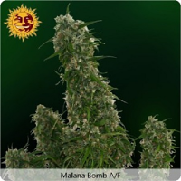 Barney's Farm Seeds Malana Bomb Auto Feminized (PICK N MIX)