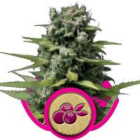Royal Queen Seeds Haze Berry Feminized
