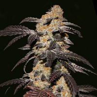 T.H. Seeds French Cookies Feminized