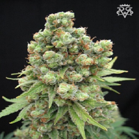 SickMeds Seeds William's Wonder Regular