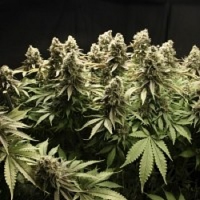 Reeferman Seeds Kodiac Gold Regular