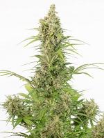 Dinafem Seeds White Widow Autoflowering CBD Feminized