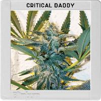 Blimburn Seeds Critical Daddy Purple Feminized