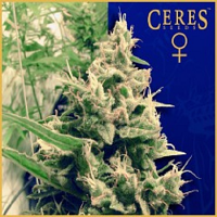 Ceres Seeds Holland's Hope Feminised