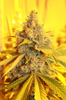 Connoisseur Genetics Seeds Cheese Dog Haze Feminized