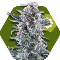 Zambeza Seeds Blueberry Auto Feminized
