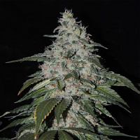 Karma Genetics Seeds StrawBanana Cream Regular