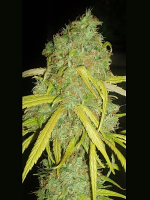 Garden of Green Seeds Pineapple Amnesia Feminized