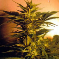 Kannabia Seeds Skunk + (Power Skunk) Feminized