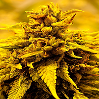 Delta 9 Labs Seeds Kopasetic Kush Feminized