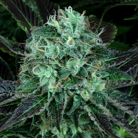 T.H.Seeds Dark Star Kush Feminised