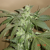 Jordan of the Islands Seeds God's White Lightning Regular