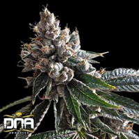 DNA Genetics Seeds Golden Lemons Feminized