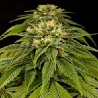Humboldt Seed Organisation Lemon Juice Express Auto Feminized