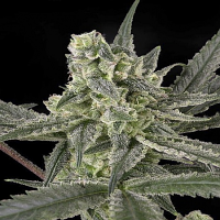 Ripper Seeds Old School Feminised (PICK N MIX)