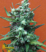 Breaking Buds Seeds Big Whoop Auto Feminized (PICK N MIX)