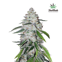 FastBuds Seeds West Coast OG Auto Feminised