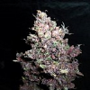 Secret Garden Seeds Pink Ogre Auto Feminised