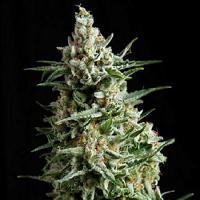 Pyramid Seeds Auto Anesthesia Feminized (PICK N MIX)