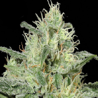 Kera Seeds Critical Feminized
