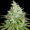 World of Seeds Medical Collectioin Afghan Kush x Black Domina Feminized