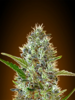 Advanced Seeds Auto Somango Feminized