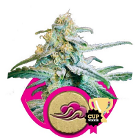 Royal Queen Seeds Blue Mistic Feminized