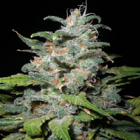 Next Generation Seeds Blue Dynamite Regular