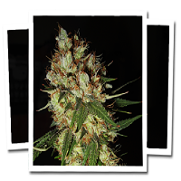 Emerald Triangle Seeds G-13 x Blueberry Headband Feminised