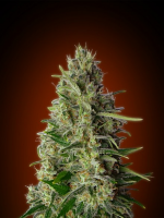 Advanced Seeds Kali 47 Feminized