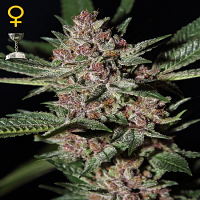 Green House Seeds Bubba Kush Feminized