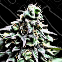 Critical Mass Collective Seeds Auto Masszar Feminized (PICK N MIX)