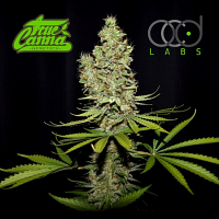 True Canna Genetics Seeds Terperella Feminized