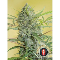 Serious Seeds Serious Happiness Feminized
