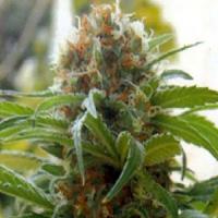 Kannabia Seeds Big Bull (Kannabia Special) Feminized