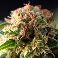 Pyramid Seeds Fresh Candy Feminized (PICK N MIX)