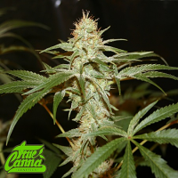 True Canna Genetics Sagans Star Regular