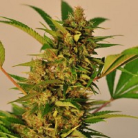 Reeferman Seeds Malawi Wowie Feminised