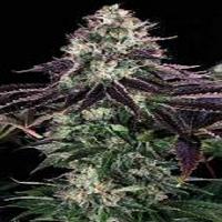 Bulk Seeds Coma Kush Feminized