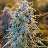 Humboldt Seed Organisation Blue Dream Feminized