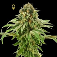 DNA Genetics Seeds Limited Collection Grape LA Feminized
